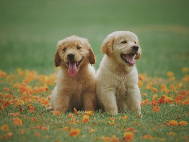 Ab wann sind Hunde ausgewachsen?